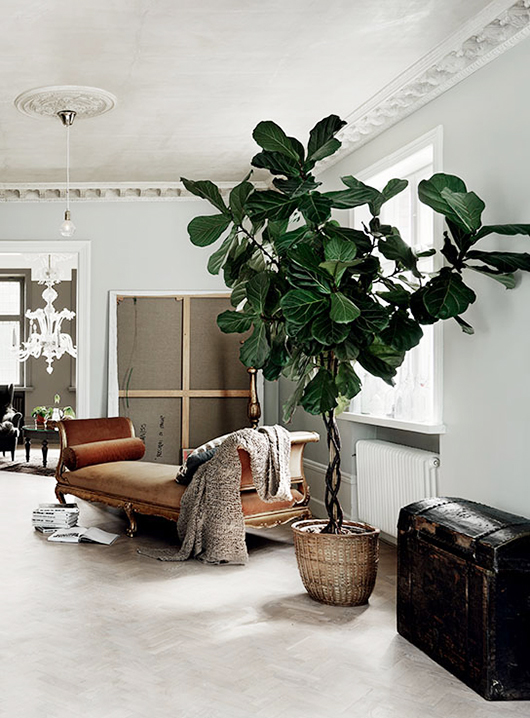 fiddle leaf houseplant in basket and vintage fainting couch / sfgirlbybay